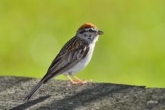 Chipping Sparrow (jt893x) Tags: 150600mm bird breeding chippingsparrow d500 jt893x nikon nikond500 sigma sigma150600mmf563dgoshsms songbird sparrow spizellapasserina