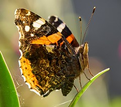 Butterfly (Geoff Fagan) Tags: butterfly butterflymacro macro insect insects insecto macrodreams macrophotography close closeup near garden summer redadmiral sony sonyalpha sonya7rm2 sonya7rii ilce7rm2 90mm handheld insectmacro insectphotography