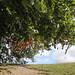 Avebury, Wiltshire. Magic Tree