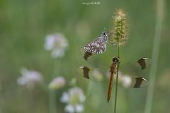 friends (Sergio Stella) Tags: skipper dragonlfy two meadow