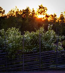 Jasmine, Tällberg, July 18, 2019 (Ulf Bodin) Tags: sverige sunset trädgård sweden outdoor dalarna tällberg garden summer tree solnedgång träd flowers canoneosr canonef100400mmf4556lisiiusm fence dalarnaslän jasmine jasmin