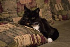 258/365 Captivated Kitty (OhWowMan) Tags: ohwowman nikon nikkor d3300 acdseepro9 my2019challenge 365project animageaday dailyphotography 365the2019edition 3652019 day258365 15sep19 sebastian cat kitty feliscatus feline felidae felid felis