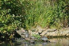 A Family Sunbathing, Clissold Park (Loz Flowers) Tags: london stokenewington hackney clissoldpark londonparks turtles