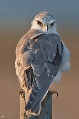 Black-shouldered Kite - Peneireiro-cinzento (anpena) Tags: birds birdphotography birdsofprey kites blackshoulderedkite