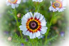 DSC_0340 (Adrian Royle) Tags: finland kuopio travel holiday allotment flowers vegetables plants nikon