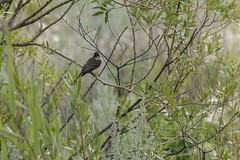Eastern phoebe (Sayornis phoebe) (octothorpe enthusiast) Tags: saskatoon saskatchewan bird lakewoodpark urban sayornisphoebe easternphoebe