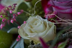 R1903939 (ivoräber) Tags: rose voigtlander voigtländer 110mm flower flowers blumen blüte blume sony switzerland systemkamera swiss schweiz suisse ngc