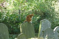 The Graveyard Cat, Saint Mary's Old Church Graveyard, Stoke Newington (Loz Flowers) Tags: london stokenewington hackney cats saintmarysoldchurchstokenewington graveyards gravestones graves
