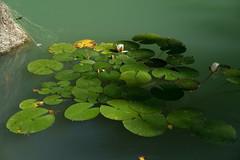 Water Lilies (gerhardschorsch) Tags: water lilies seerosen flora zeiss za ilce7r a7r available availablelight 55mm fe55mm fe55mmf18za sony f18 fe festbrennweite vollformat
