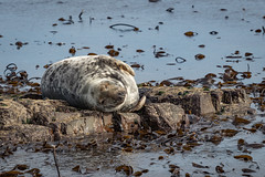 Grey Atlantic Seal (chrisellis211) Tags: