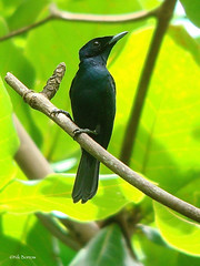 Shining Flycatcher Myiagra alecto chalybeocephala (nik.borrow) Tags: bird flycatcher monarch newbritain