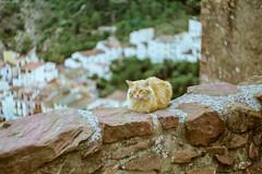 (Tamar Burduli) Tags: 35mm nature film analog cat kitty feline animal pet street travel spain vilafames vilafamés city cityscape pueblo town zenit თამარბურდული თათაბურდული tataburduli tamarburduli