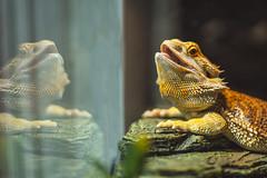 Photo 26 (Austin Swan) Tags: reflections beardeddragon dragon beardy lizard open mouth