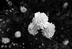 Garden Blossoms _ bw (Joe Josephs: 3,166,284 views - thank you) Tags: centralpark centralparkconservancygarden landscapephotography manhattan nyc newyorkcity travel travelphotography centralparkconservancy citypark colorphotography foliage nature outdoorphotography plants urbanpark bw blackandwhite monochrome