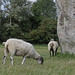 Sheep and Stones. Avebury, Wiltshire