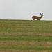 Avebury, Wiltshire. Roe Deer