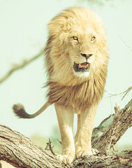 A majestic lion (Trey Ratcliff) Tags: africa botswana stuckincustomscom treyratcliff lion big cat climb tree portrait animal pride