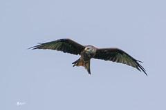 Red Kite (KMPhotos) Tags: castledouglas scotland unitedkingdom red kites