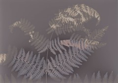 (katwardphoto) Tags: analog experimentalphotography cameralessphotography botanicalphotography botanicalart alternativeprocess alternativeprocesses altprocess lumenprint lumenprinting contactprint photogram nature autumn fern ferns plant plants