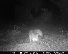 fox and... Ent? (jinxmcc) Tags: trailcam fox mystery edgewood ent