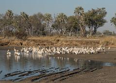Great White Pelicans - Pelecanus onocrotalus (Gary Faulkner's wildlife photography) Tags: greatwhitepelican pelecanusonocrotalus