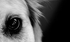Eye of Mia (Ray Seeking Light) Tags: goldenretriever intensity thelook croppingformeaning ngysa blackwhite