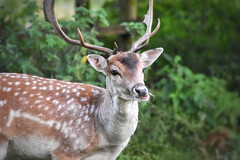 Fallow deer! (Nina_Ali) Tags: deer bradgatepark leicestershire nature fallowdeer animal wildlife unitedkingdom