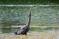 A Great Blue Heron in the shallow waters of the Ottawa River near Petrie Island in Ottawa, Ontario (Ullysses) Tags: greatblueheron ottawariver rivièredesoutaouais petrieisland ottawa ontario canada summer été bird ardeaherodias orleans