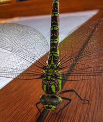 Green dragon (davidhamilton23) Tags: huawei p30pro macrophotography macro closeup dragonfly