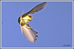 Pouillot fitis vol 190916-04-P (paul.vetter) Tags: oiseau ornithologie ornithology faune animal bird pouillotfitis phylloscopustrochilus willowwarbler mosquiteromusical felosamusical fitis