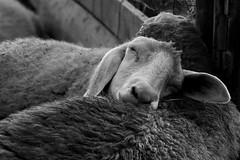 Sereno Riposo (DADAEOS) Tags: biancoenero pecora animali anime amore eos1dsmarkiii canonef70200mmf28liiusm rifugiomiletta serenitá