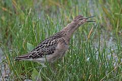 ruff (DODO 1959) Tags: wildlife ruff avian birds wader fauna outdoor nature animal water canon 100400mmmk2 7dmk2 carmarthenshire wales llanelli wwt goodhallhide dafenscrapes