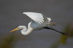 Great bird (Pascal Bernardin) Tags: grandeaigrette ardeaalba greategret