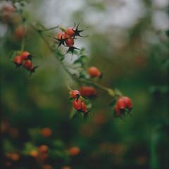 emotions (Neko! Neko! Neko!) Tags: rosehips daydreaming end endofsummer emotion nostalgia polaroid instantfilm mamiya rb67 film analogue