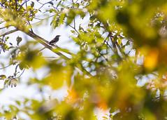 Gobemouche Noir / European Pied Flycatcher / Ficedula Hypoleuca (PriscillaHernandez85) Tags: france oiseau ficedulahypoleuca isère europeanpiedflycatcher gobemouchenoir canon550d bird isere rhonealpes eos550d tamron18400