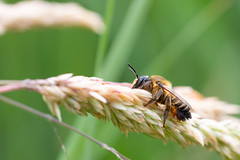 Resting Leafcutter (oandrews) Tags: bee bees canon canon70d canonuk fauna fowlmere insect insects invertebrate invertebrates leafcutter megachile minibeast minibeasts nature naturereserve outdoors rspb wildlife royston england unitedkingdom