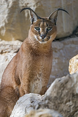 Caracal among the rocks (Tambako the Jaguar) Tags: caracal big wild cat male portrait face sitting posing rocks stones looking siky park zoo crémines switzerland nikon d5