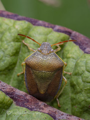 _IMG0315 Gorse Shieldbug - Piezodorus lituratus in Autumn colours (Pete.L .Hawkins Photography) Tags: gorse shieldbug piezodorus lituratus autumn colours petehawkins petelhawkinsphotography petelhawkins petehawkinsphotography 150mm macro pentaxpictures pentaxk1 petehawkinsphotographycom rotherhamphotographer irix f28 11 fantasticnature fabulousnature incrediblenature naturephoto wildlifephoto wildlifephotographer naturesfinest unusualcreature naturewatcher minibeast tiny creatures creepy crawly bug wildlife insectphoto bugphoto insect invertebrate 6legs compound eyes uglybug bugeyes