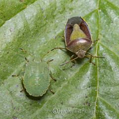 _IMG0155 Gorse Shieldbug - Piezodorus lituratus in Autumn colours with 4th Instar Common Green Shieldbug - Palomena prasina (Pete.L .Hawkins Photography) Tags: gorse shieldbug piezodorus lituratus autumn colours with 4th instar common green palomena prasina petehawkins petelhawkinsphotography petelhawkins petehawkinsphotography 150mm macro pentaxpictures pentaxk1 petehawkinsphotographycom rotherhamphotographer irix f28 11 fantasticnature fabulousnature incrediblenature naturephoto wildlifephoto wildlifephotographer naturesfinest unusualcreature naturewatcher minibeast tiny creatures creepy crawly bug wildlife insectphoto bugphoto insect invertebrate 6legs compound eyes uglybug bugeyes