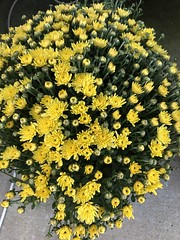 c2019 Sept 16, Yellow Mums (King Kong 911) Tags: flowers mums yellow burgandy plants blooming