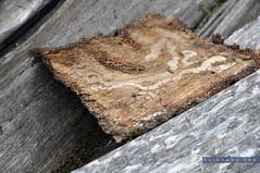 Niederösterreich Mostviertel Moosau_DSC0360 (reinhard_srb) Tags: niederösterreich mostviertel moosau baumrinde holz spur labyrinth käfer natur wald baum