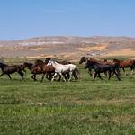 I celeberrimi cavalli Mustung, simbolo dl profondo West americano
