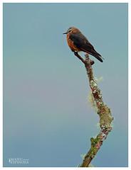 Tirano de Riscos, Hirundinea ferruginea, Cliff Flycatcher, Cosanga, Napo, Ecuador (manuelespinosa10) Tags: hirundinea ferruginea cliff flycatcher