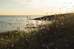 Brise de bord de mer -*---+°-°-° (Titole) Tags: sunset plants seaside backlit titole grasses nicolefaton lagureovale grosminet queuedelièvre lagurusovatus 15challengeswinner harestailgrass challengeyouwinner thechallengefactory challengegamewinner