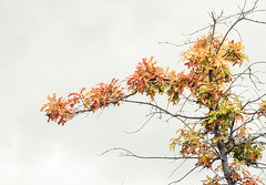 Autumn Colors (JMS2) Tags: leaves tree branch autumn fall foliage colors nature highkey