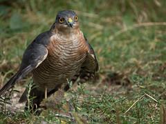 Sparrowhawk v Greenfinch (Nanooki) Tags: accipiternisus birds europe england horsham location naturalworld sparrowhawk sussex unitedkingdom warnham warnhamnaturereserve