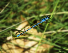Common Bluet (Male) 3131 (Ethan.Winning) Tags: common bluet damselfly odonata dragons damsels insects northern california well actually northwest central mtdiablowalnutcreekca canonsx50 copyrightethanwinning