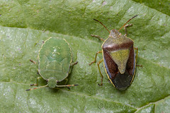 _IMG0154 Gorse Shieldbug - Piezodorus lituratus in Autumn colours with 4th Instar Common Green Shieldbug - Palomena prasina (Pete.L .Hawkins Photography) Tags: gorse shieldbug piezodorus lituratus autumn colours with 4th instar common green palomena prasina petehawkins petelhawkinsphotography petelhawkins petehawkinsphotography 150mm macro pentaxpictures pentaxk1 petehawkinsphotographycom rotherhamphotographer irix f28 11 fantasticnature fabulousnature incrediblenature naturephoto wildlifephoto wildlifephotographer naturesfinest unusualcreature naturewatcher minibeast tiny creatures creepy crawly bug wildlife insectphoto bugphoto insect invertebrate 6legs compound eyes uglybug bugeyes