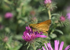 Skipper in the meadow (KsCattails) Tags: aster jccc kathrynkennedy kscattails nature skipper