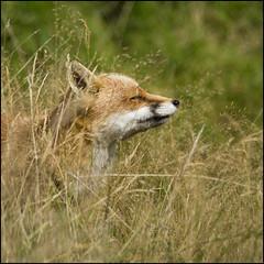 Fox in the sun (Craig 2112) Tags: red fox vulpesvulpes mammal devon